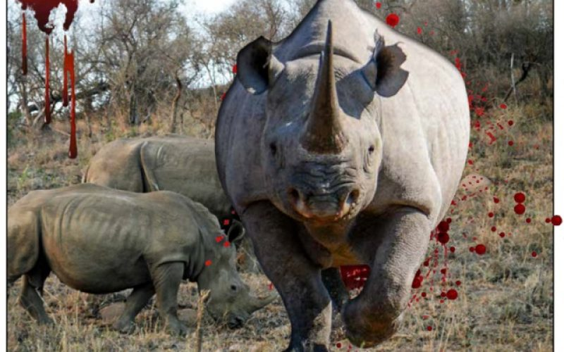 Vultures thrive on rhino kills