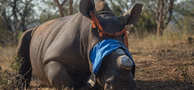 Funding plea for dehorning KZN rhinos