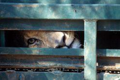 How lions fell through the legislative cracks