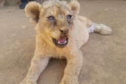 Lion bone trade in public spotlight
