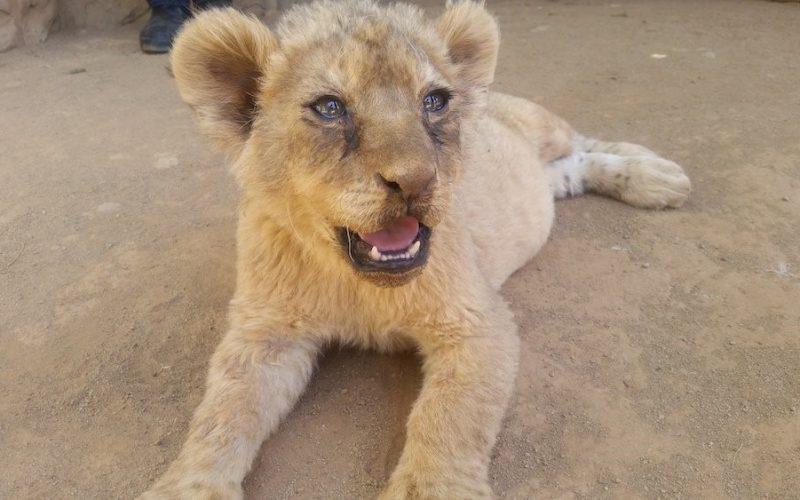 Lion bone trade in spotlight