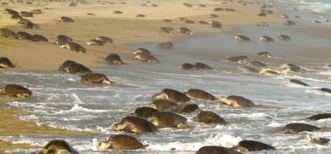 Loggerhead facts