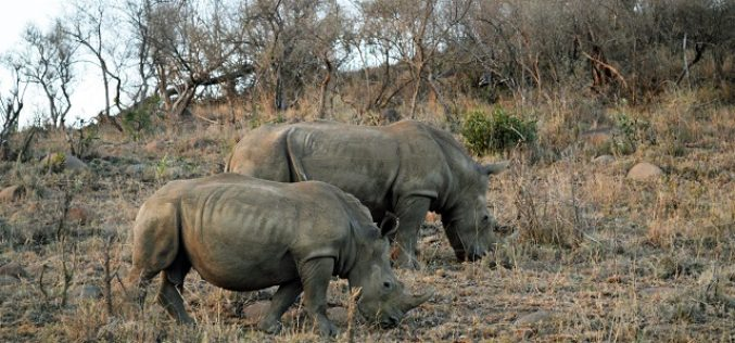 Calls to legalise trade in rhino horn stirs debate