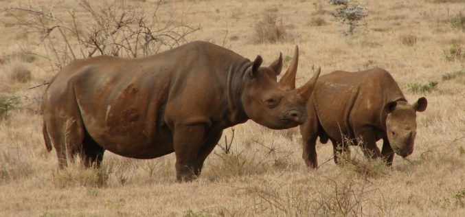 Tsavo rhino relocation deaths are a disgrace