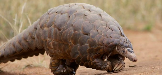 New film puts the focus on Pangolin poaching