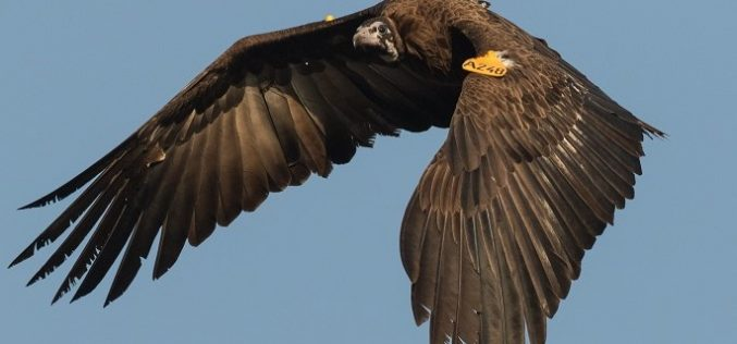 Lift off for African vulture safe zones
