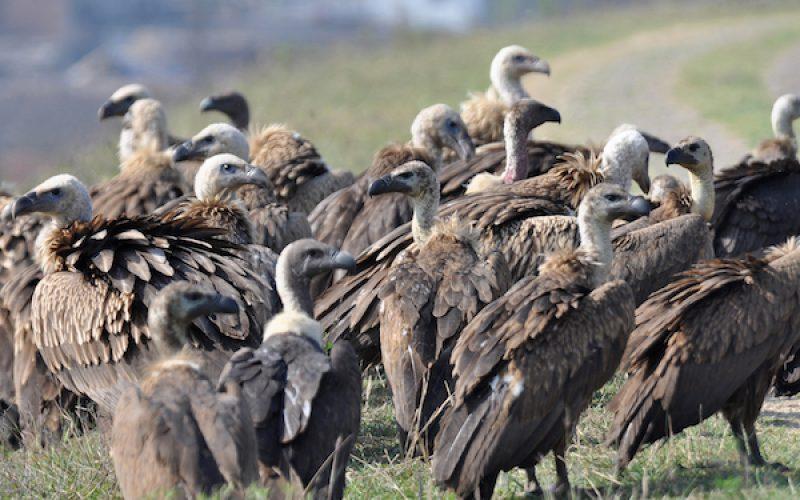 Asian vulture crisis