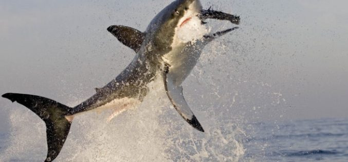 Headless sharks, scarce great whites and the danger of fish and chips Down Under