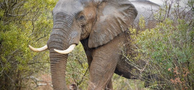 Jumbo blow for Zululand reserve: Bull elephants kill conservationist