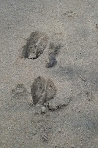 Antelope spoor on the beach at Leisure Bay