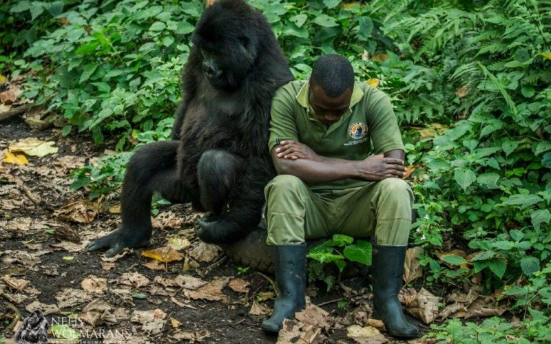 Twelve rangers killed in latest Virunga Park incident