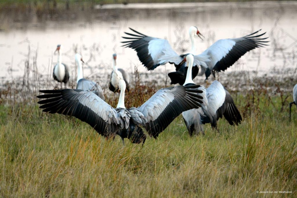 Bad farming methods has taken wattled cranes to the brink.
