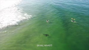 Plettenberg Bay shark and surfers