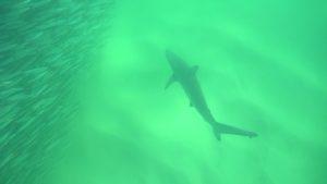Spinner shark - sardine run