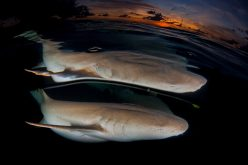 A shiver of sharks: <br>  Old stories tell another truth