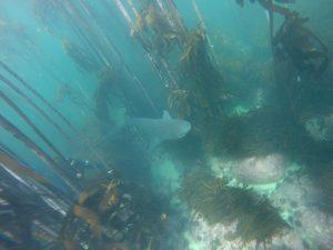 cow shark in Kelp