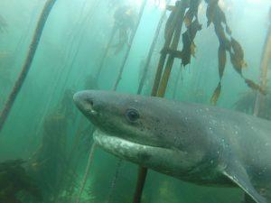 sevengills – cow shark