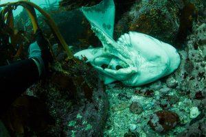 cow shark torn open