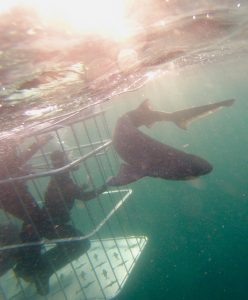 cow shark – cage diving