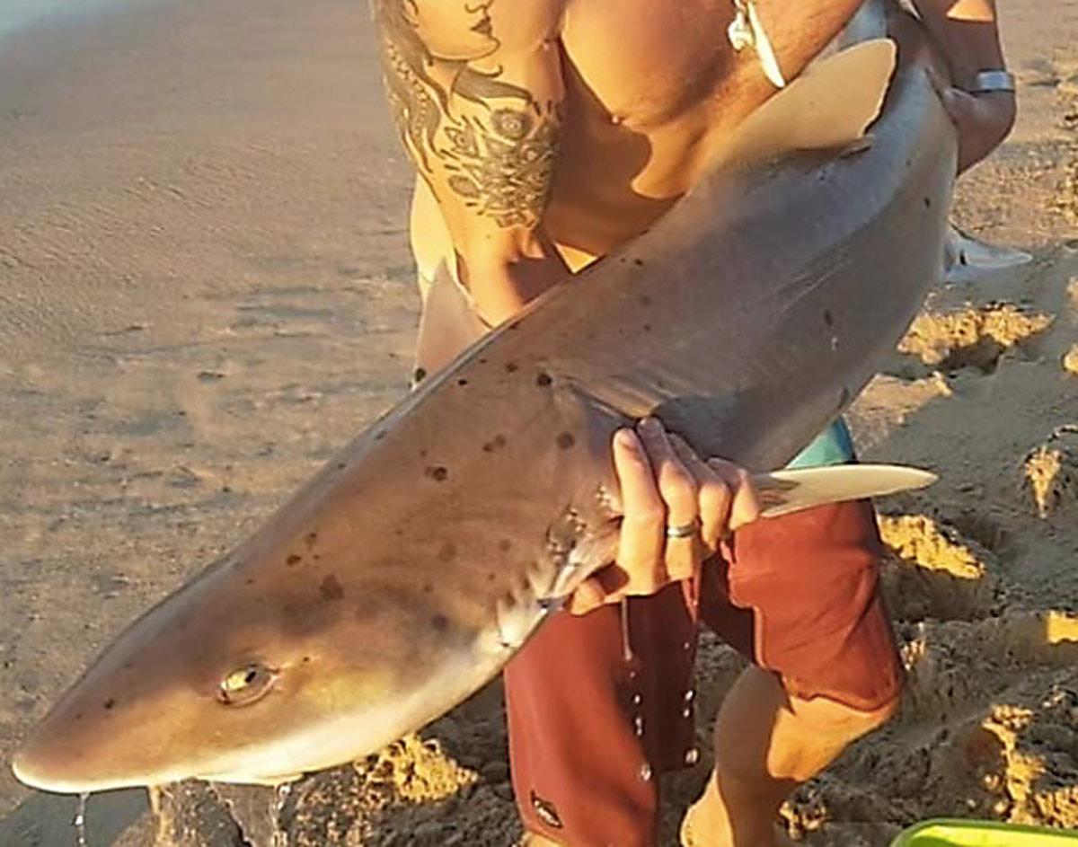 smoothhound shark