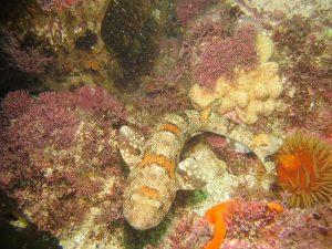 Puffadder Shyshark – sometimes found among bycatch