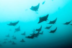 Detail on the devils: rare ray discovered on South Coast