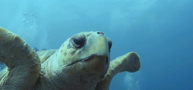 """Turtles """"talk"""" to divers"""