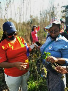 LONG LIFE: Teachers Phumzile Manana and Zandile Mdletshe harvesting Gotu Kola. Dubbed the herb of longevity, it has many uses including as an anti-inflammatory, to improve circulation and for skin and hair care.