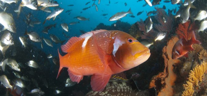 Red Fish Down: Marine protected areas are critical to the future of South Africa's iconic reef species